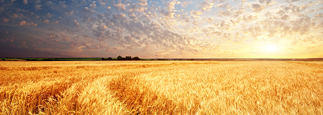 wheat_blog_header