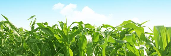 corn_blog