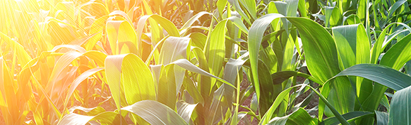 corn_header-1