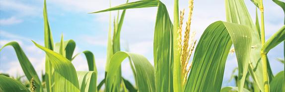 corn_header