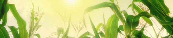 blog_corn