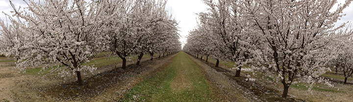Almond-Trees-Accomplish-LM