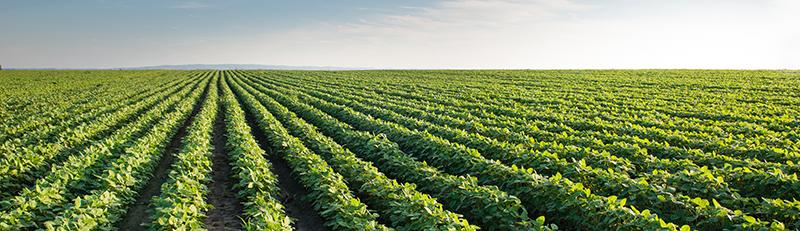soybean_field