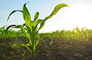 Sidedress nitrogen corn