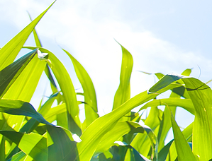 corn crop health 2