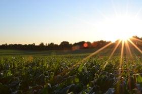 corn sun