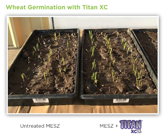 wheat-germination-titan-xc